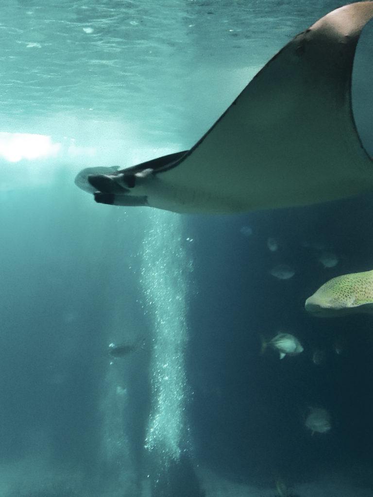 raie aquarium oceanario lisbonne