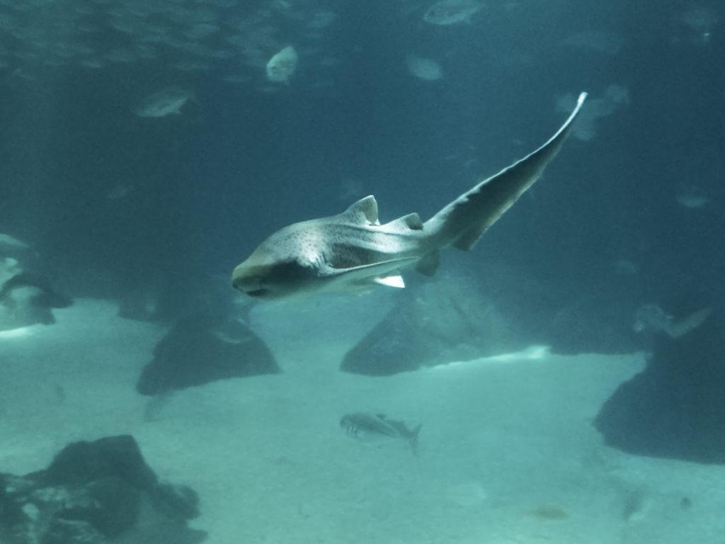 requin oceanario lisbonne